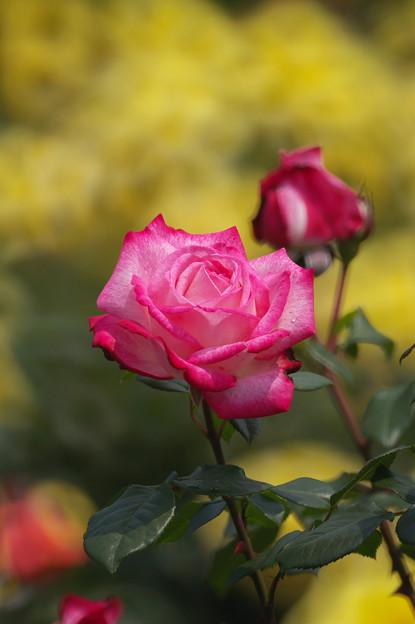 リングボケに赤い薔薇