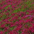 写真: スカーレットフレーム・芝桜16