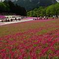 写真: 羊山公園芝桜17