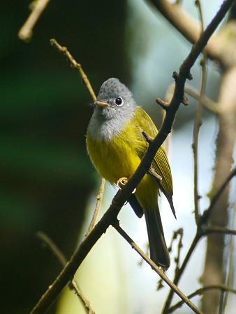 ハイムネヒタキ(Grey-headed Canary Flycatcher) P1050408_R