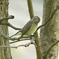 写真: オジロヒタキ(Red Throated Flycatcher) P1050174_R