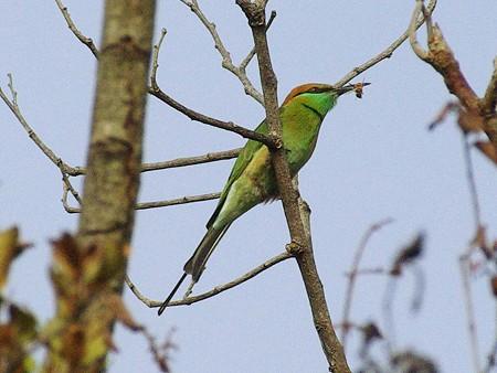 ミドリハチクイ(Green Bee-eater) IMGP47105_R