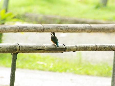 カワセミ(Common Kingfisher) IMGP47261_R
