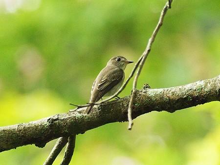 コサメビタキ(Brown Flycatcher) IMGP47269_R