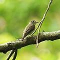 Photos: コサメビタキ(Brown Flycatcher) IMGP47269_R