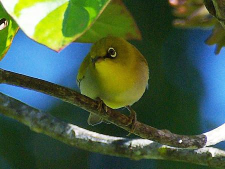メジロ? (Oriental White-eye, Yellow Morph) IMGP8389_R(800)