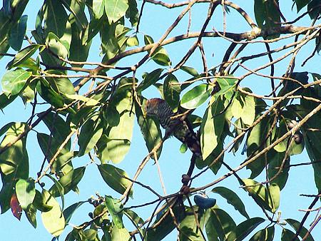 ミドリテリカッコー(Asian Emerald Cuckoo) IMGP48851_R