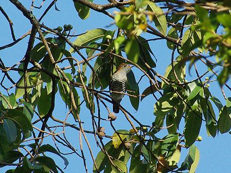 ミドリテリカッコー(Asian Emerald Cuckoo) IMGP48838_R