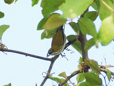 ムナフハナドリ(Yellow-vented Flowerpecker) IMGP9747_R