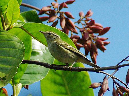キマユムシクイ(Yellow-browed Warbler) IMGP50125_R
