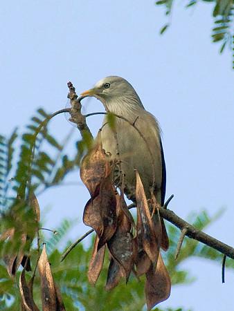 インドコムクドリ(Chestnut-tailed Starling) IMGP50432_R3