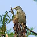 写真: インドコムクドリ(Chestnut-tailed Starling) IMGP50432_R3