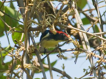 セアカハナドリ(Scarlet-backed Flowerpecker) IMGP53379_R