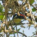 Photos: セアカハナドリ(Scarlet-backed Flowerpecker) IMGP53379_R