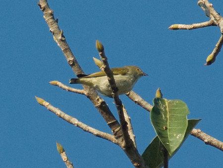アオハナドリ(Plain Flowerpecker) IMGP53865_R