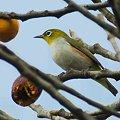 写真: チョウセンメジロ(Chestnut-flanked White-eye) IMGP54293_R