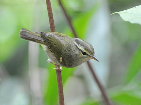 センダイムシクイ?(Eastern Crowned Warbler) DSC_0445_R