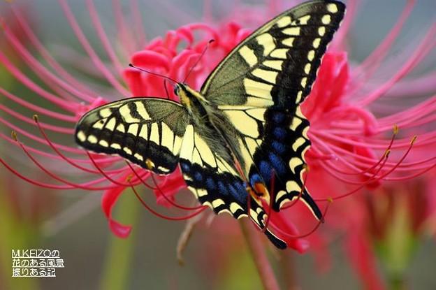 彼岸花とアゲハチョウ (6)