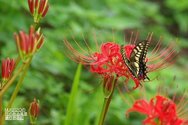 彼岸花とアゲハチョウ (1)
