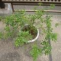 葉っぱばかり伸びるミニバラ