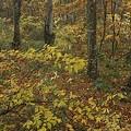 ブナの木~落葉