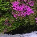 Photos: 渓流の春6