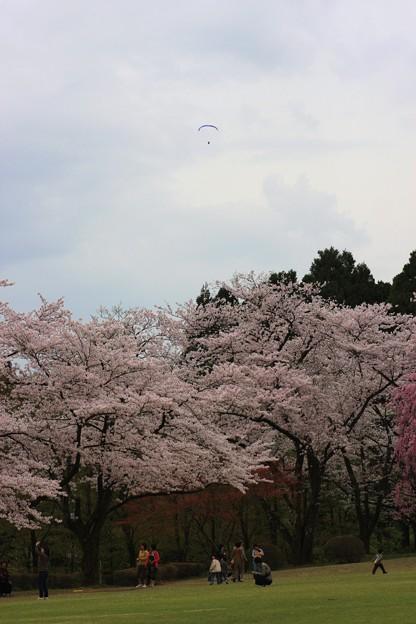 桜とハングライダー  石川県樹木公園