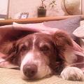 Photos: メイさん、寒いので毛布にく...