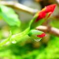 Photos: ゼラニュウムの小さな花と雫