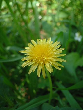 カントウタンポポ(Taraxacum platycarpum Dahlst.)