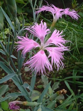 カワラナデシコ(Dianthus superbus L. var. longicalycinus (Maxim.) Williams)