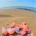 2008年10月18日、桜貝と桃の花貝