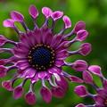 Photos: 【African daisy】アフリカンデージー