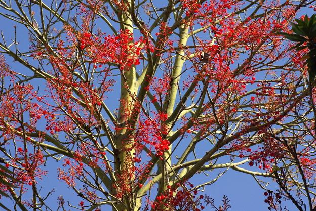 【Flame tree】 火焔樹(カエンジュ)