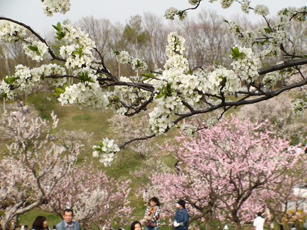 5月始めの平岡公園梅林。DSC00566