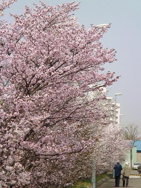 『チシマ桜』DSC06932