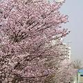 Photos: 『チシマ桜』DSC06932