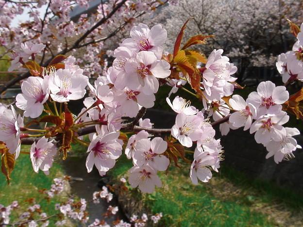 『チシマ桜』DSC00101