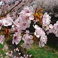 Photos: 『チシマ桜』DSC00101
