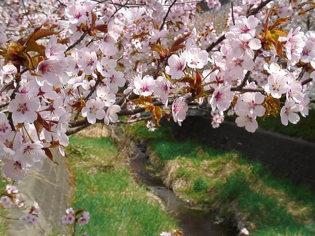 『チシマ桜』DSC00100