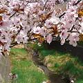 Photos: 『チシマ桜』DSC00100