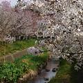 Photos: 『チシマ桜』DSC00081