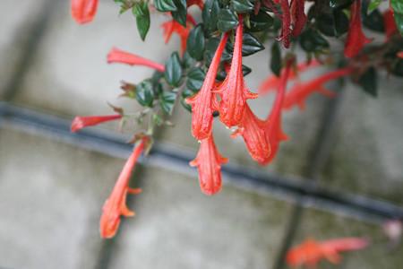 赤いサメのような花