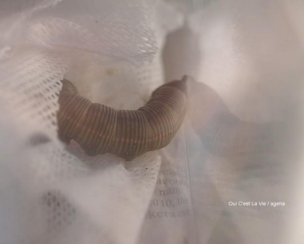 ガガさま(オオスカシバ幼虫)やっと蛹化する。