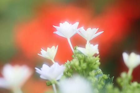 紫陽花:墨田の花火