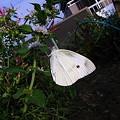 Photos: 朝食中の白蝶