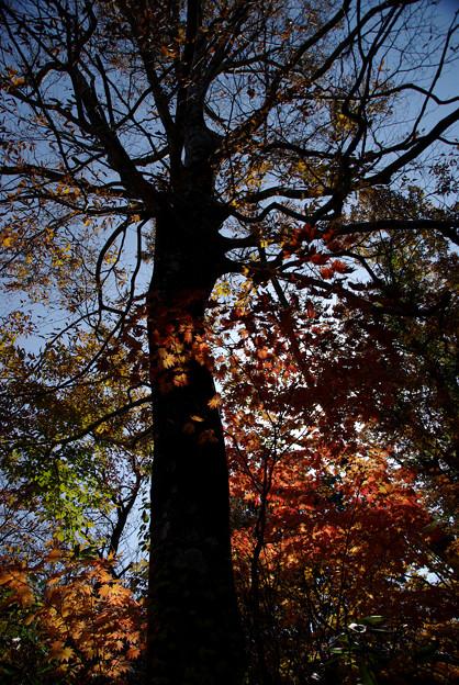 Photos: 大木のシルエット