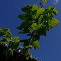 夏の栗の苗木
