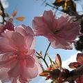 我が家の八重桜2