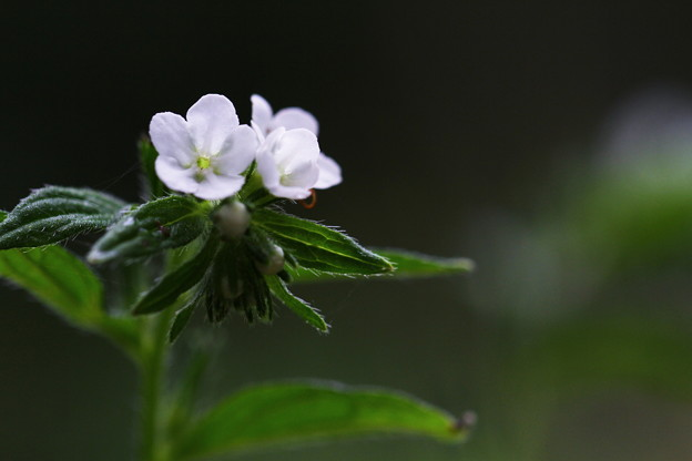 万葉の花~むらさき